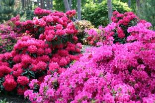 rhododendron en sous bois